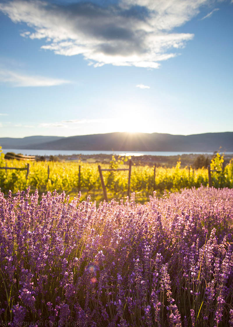 Kelowna Lavender Farm within 5 minutes from The Orchard in the Mission